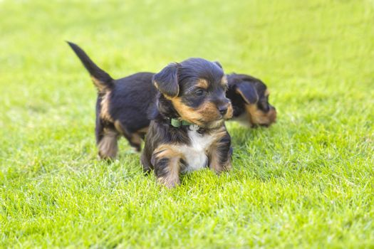 yorkshire silky terriers