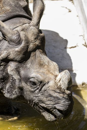 Strength, danger, Indian rhino with huge horn and armor skin