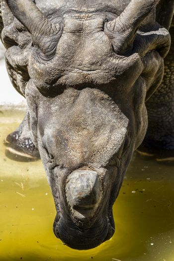 Indian rhino with huge horn and armor skin