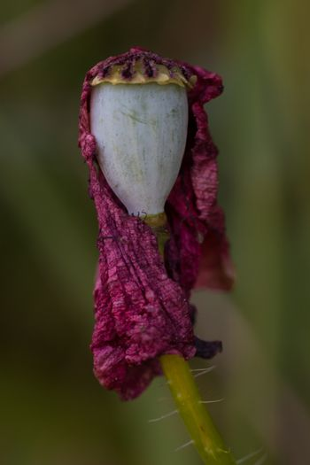 Original macrophotography of a withered poppy flower