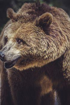 killer, brown bear, majestic and powerful animal