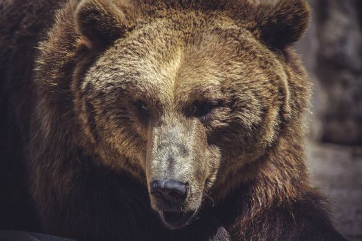 wildlife, Spanish powerful brown bear, huge and strong  wild animal