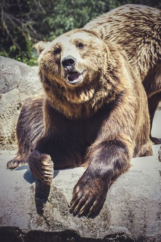 killer, Spanish powerful brown bear, huge and strong  wild animal