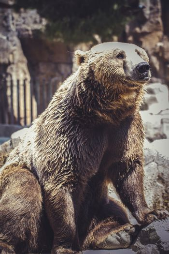 Spanish powerful brown bear, huge and strong  wild animal