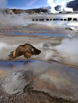Condor in the Valley of Geysers, Atacama Desert, Chile