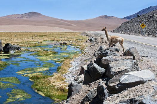 Vicunas and alpacas graze in the Atacama