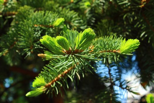 Delicate light green needles updated spring spruce
