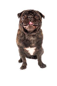 A pug dog on white