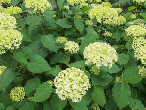 Hortensia flower