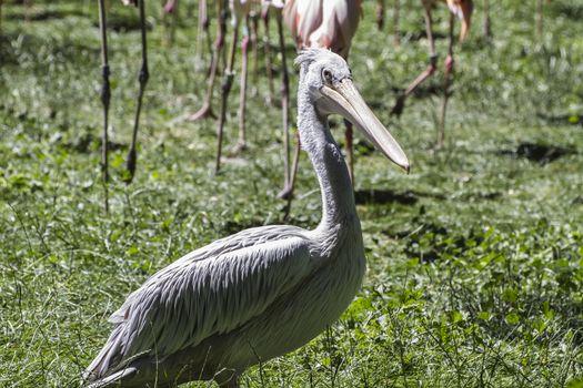 pelican, bird with huge beak