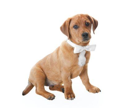 Puppy With Bowtie
