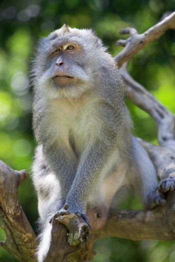 Long-tailed Macaque Monkey in the Monkey forest in Bali
