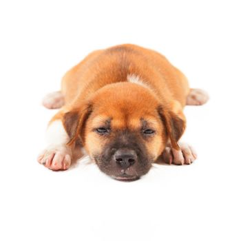 puppy dog lying isolated on white background