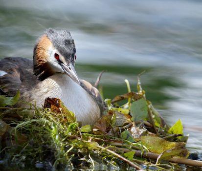 Crested grebe (podiceps cristatus) duck on nest