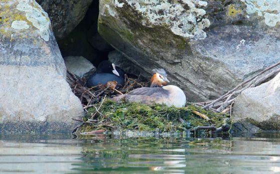 Crested grebe and eurasian coot ducks on nest