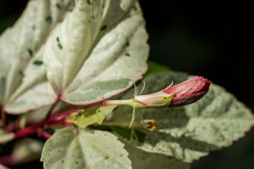 Red hibiscus bud
