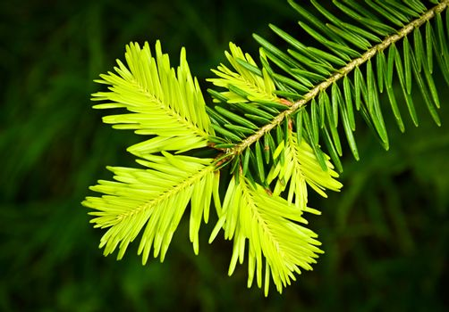 new spruce twig