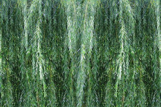 Background willow bush
