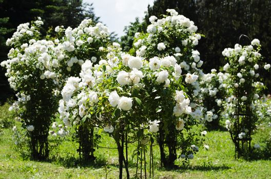 Photo of the Rose Flower Gardening and Landscaping