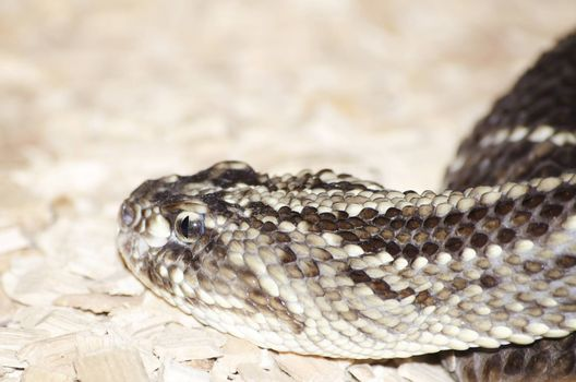 Photo of the Gabon Viper Over Beige