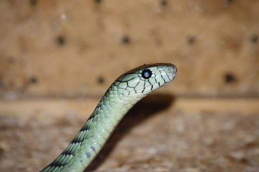 Photo of the Dendroaspis angusticeps (Green Mamba)