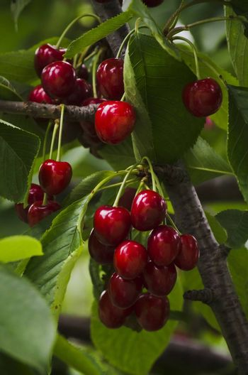 Red Cherry Branch Over Green Leaves