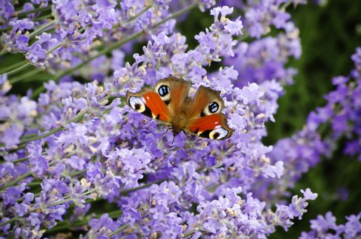 Photo of the Purple Lavender Blossom With Butterfly