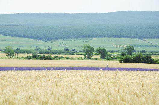 Photo of Wheat Field Landscape