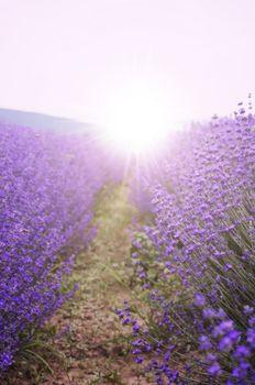 Photo of the Purple Lavender Blossom Field
