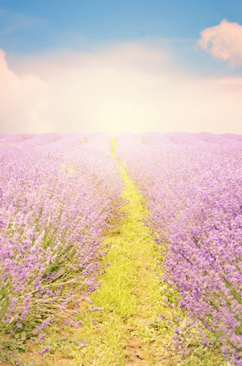 Photo of the Purple Lavender Blossom Field