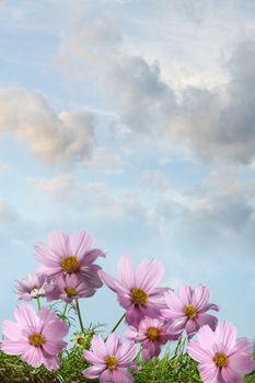 Cosmos flowers against a summer sky