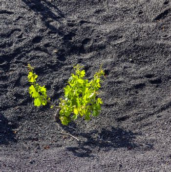 beautiful grape plants grow on volcanic soil in La Geria