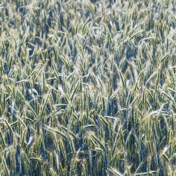 corn field with spica and beautiful structured spear