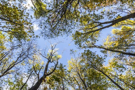 Crown trees and pine against sky, view from below.