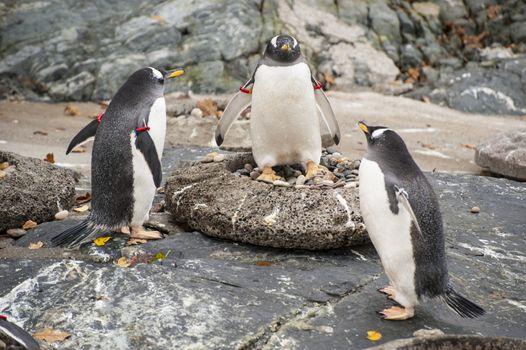 Three penguins in the Bergen zoo, Norway.