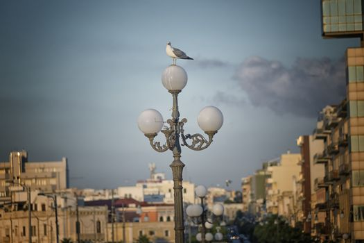 Seagull (Larinae Rafinesque) standing  on street lamp in Gallipoli (Le) in the Southern Italy