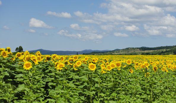 Yellow Sunflower in Summertime Over Natura Bbackground