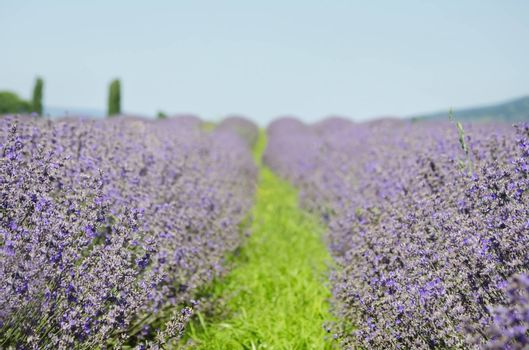 Lavender Blossom Flower in Summer Time