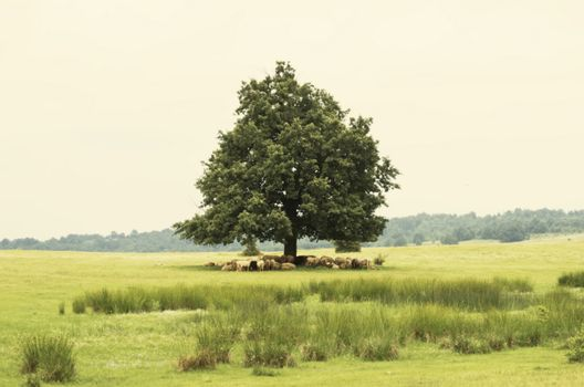 Single Oak With Sheeps in Rural Landscape