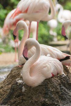 Flamingo rest on ground