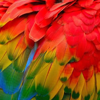 Scarlet Macaw feathers