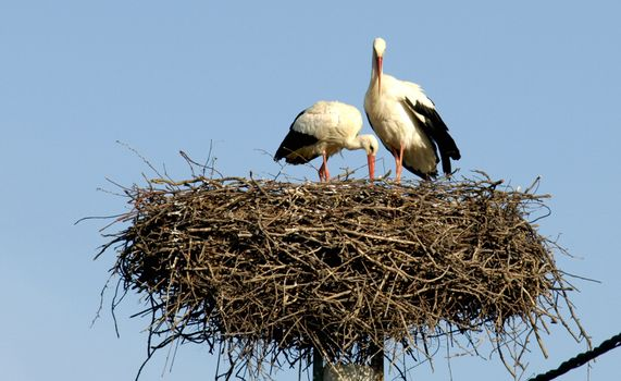 storks in the nest