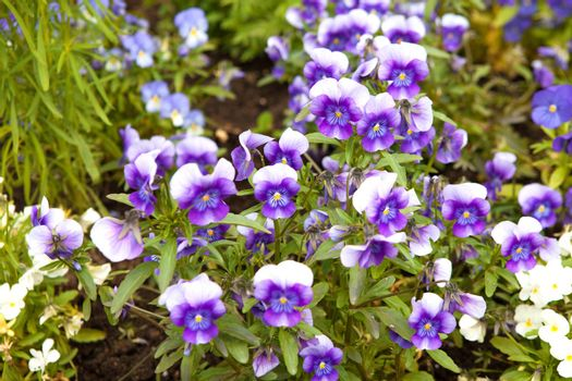 pansies on the field outdoors