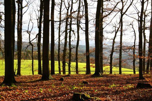beech trees in sunlight