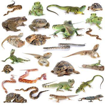 reptile and amphibian