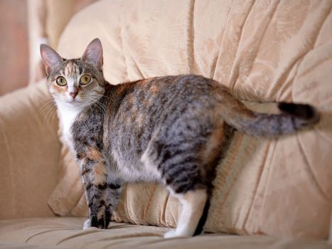 The multi-colored cat costs on a sofa.