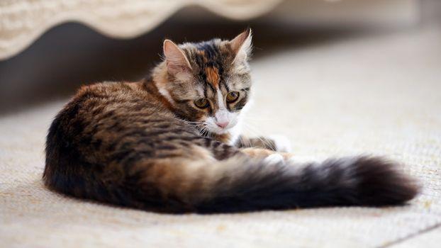 Striped not purebred kitten.