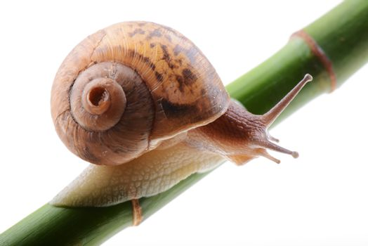 Snail on bamboo isolated on a white background