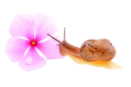 Small brown snail isolated on a white background