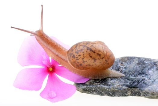 Snail with a purple flower on a white background